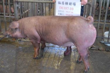 台灣種豬發展協會9902期D1187-10側面相片