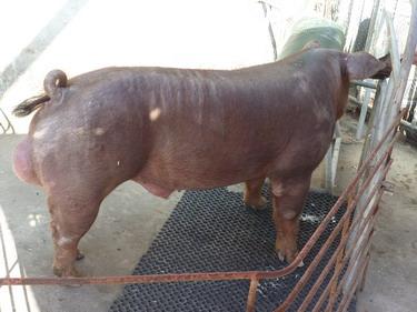 台灣種豬發展協會9902期D0380-06側面相片