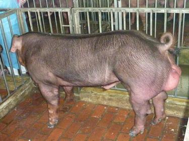 台灣種豬發展協會9902期D1672-04側面相片