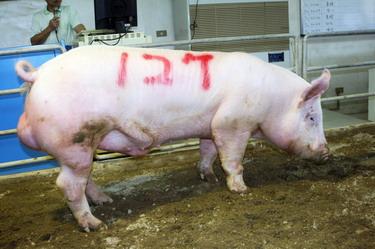台灣動物科技研究所竹南檢定站9805期Y0524-08拍賣相片(高價豬)