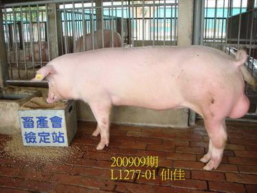 中央畜產會200909期L1277-01拍賣照片