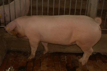 中央畜產會200909期L0632-10體型-全身相片