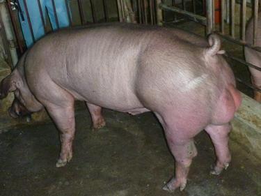台灣種豬發展協會9903期D1734-01側面相片