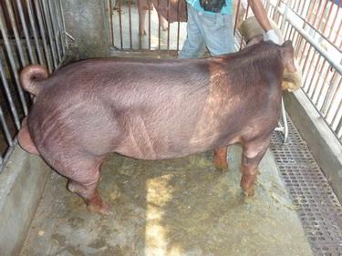 台灣種豬發展協會9903期D0300-09側面相片