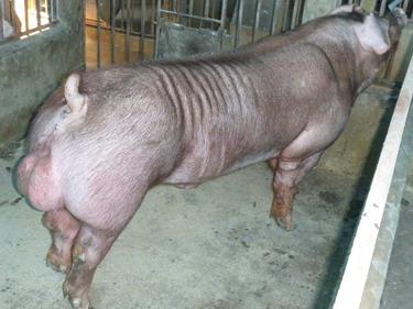 台灣種豬發展協會9903期D0790-03側面相片