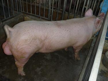 台灣種豬發展協會9903期Y0536-07側面相片