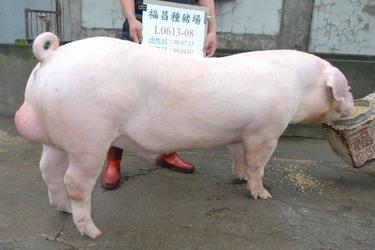 台灣種豬發展協會9903期L0613-08側面相片