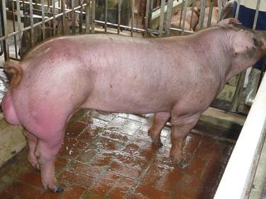台灣種豬發展協會9903期D0837-06側面相片