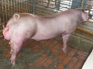 台灣種豬發展協會9903期D0551-02側面相片