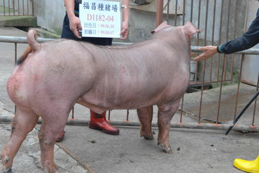 台灣種豬發展協會9903期D1182-04側面相片