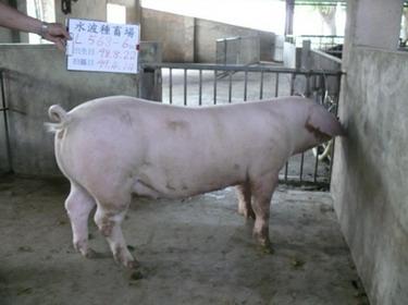 台灣種豬發展協會9903期L0568-06側面相片