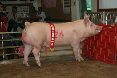 台灣種豬發展協會9903期Y0440-04拍賣相片(高價豬)