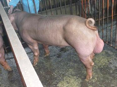 台灣種豬發展協會9904期D1284-03側面相片