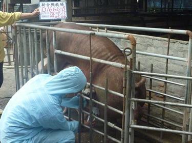台灣種豬發展協會9904期D1666-08採精相片
