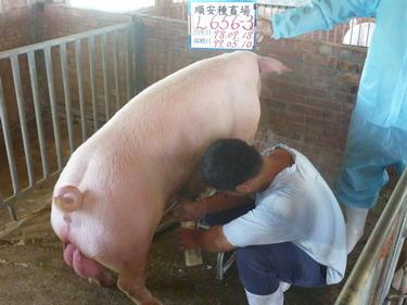 台灣種豬發展協會9904期L0656-03採精相片