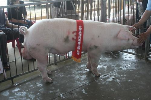 台灣種豬發展協會9904期L0653-01拍賣相片(高價豬)