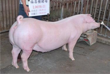台灣種豬發展協會9904期L0658-11側面相片