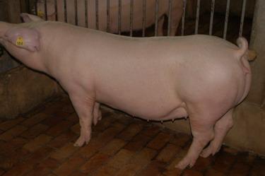 中央畜產會200910期L1304-11體型-全身相片