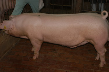 中央畜產會200910期L0661-05體型-全身相片