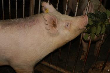 中央畜產會200910期Y0367-03體型-頭頸相片