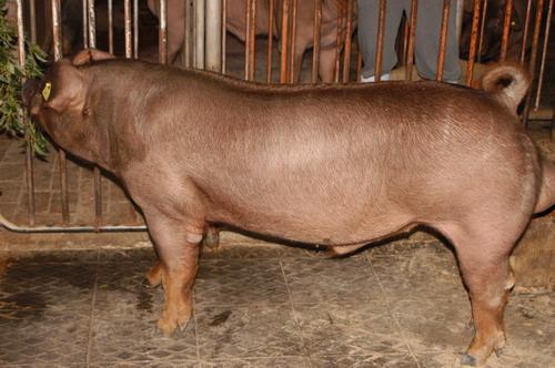中央畜產會200911期D0004-03體型-全身相片