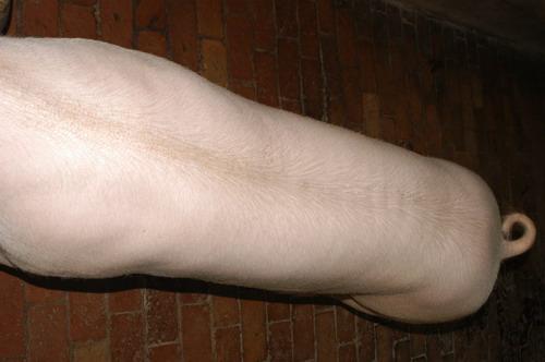 中央畜產會200911期L0681-10體型-體軀相片