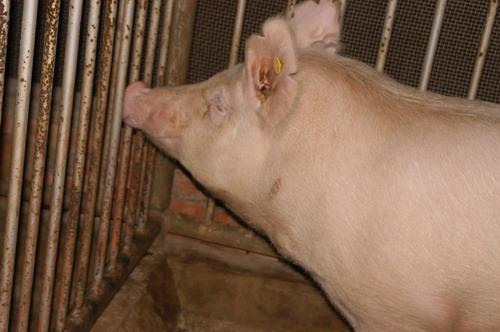 中央畜產會200911期Y1439-09體型-頭頸相片