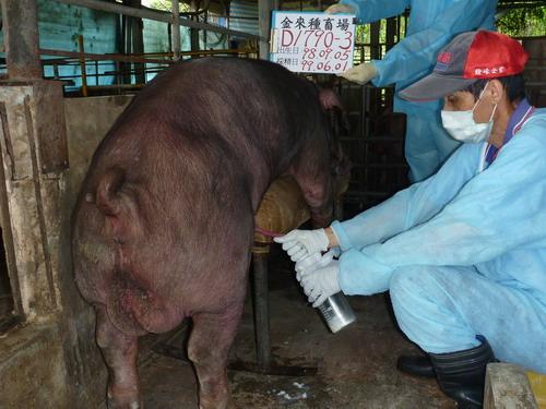台灣種豬發展協會9905期D1790-03採精相片