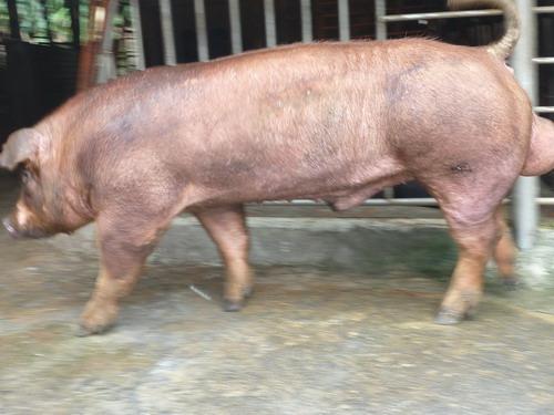 台灣種豬發展協會9905期D1666-11側面相片