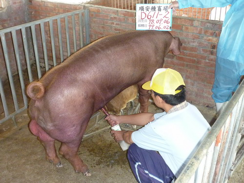 台灣種豬發展協會9905期D0611-02採精相片