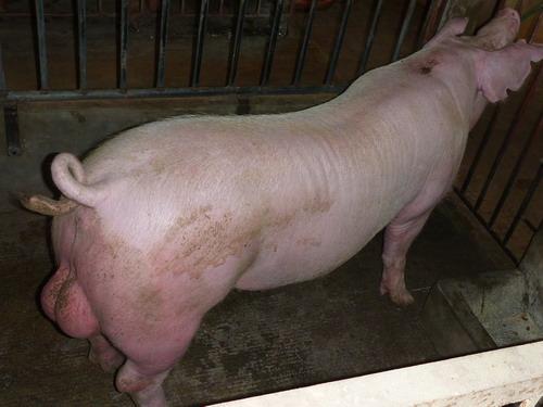 台灣種豬發展協會9905期L0644-07側面相片