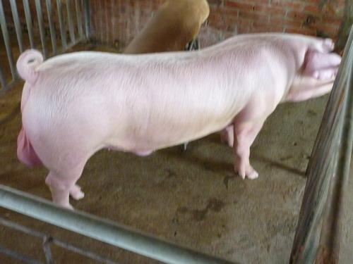 台灣種豬發展協會9905期L0676-01側面相片