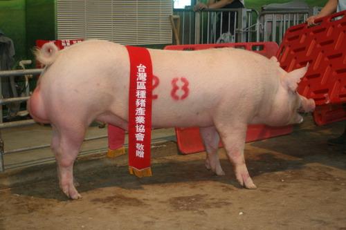 台灣種豬發展協會9905期Y0452-08拍賣相片(高價豬)