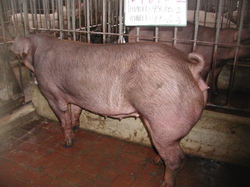 台灣種豬發展協會9905期D0870-02側面相片