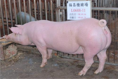 台灣種豬發展協會9905期L0688-11側面相片