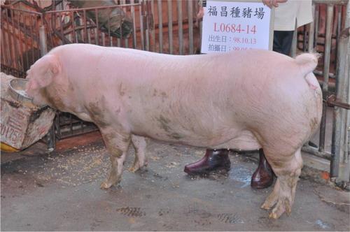 台灣種豬發展協會9905期L0684-14側面相片
