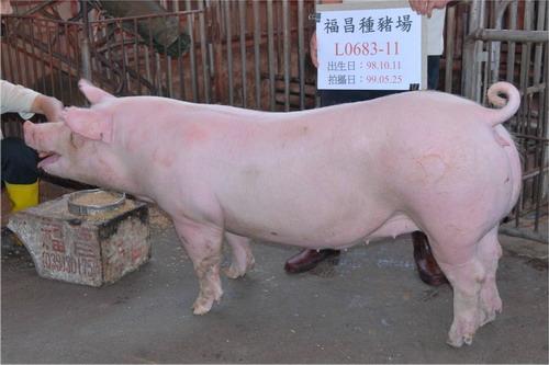 台灣種豬發展協會9905期L0683-11側面相片