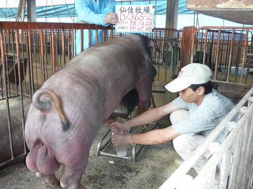 台灣種豬發展協會9906期D1365-02採精相片