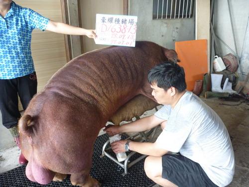 台灣種豬發展協會9906期D1638-13採精相片