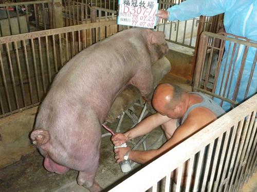 台灣種豬發展協會9906期D0307-11採精相片