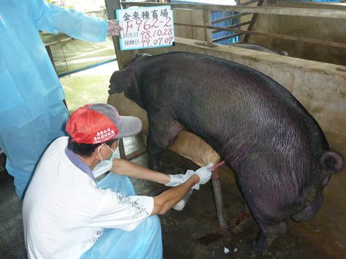 台灣種豬發展協會9906期F0962-02採精相片