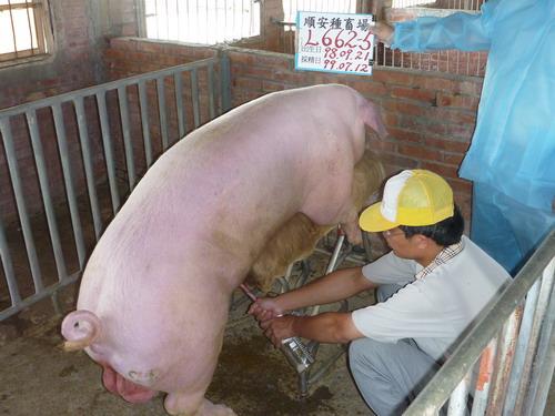 台灣種豬發展協會9906期L0662-05採精相片