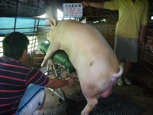 台灣種豬發展協會9906期Y0085-06採精相片