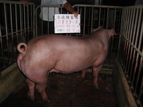 台灣種豬發展協會9906期D0888-05側面相片