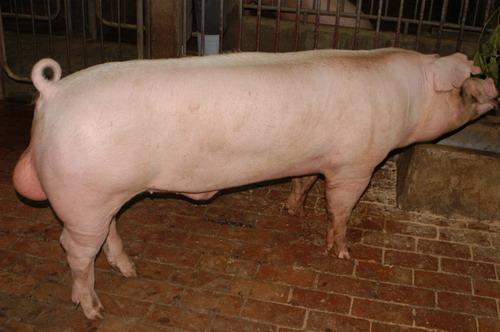 中央畜產會201001期L0734-02體型-全身相片