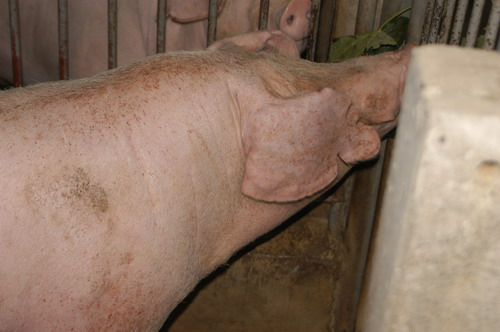 中央畜產會201001期L0723-07體型-頭頸相片