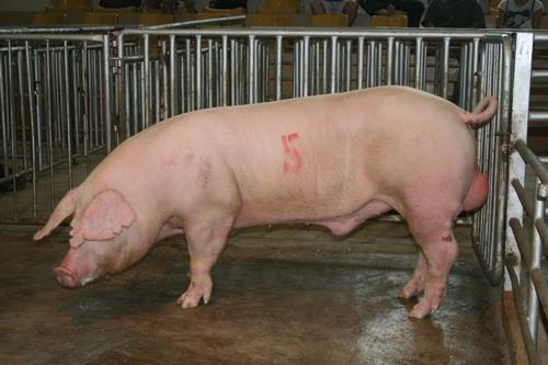 台灣種豬發展協會9906期L0662-05拍賣相片(高價豬)