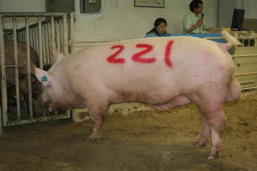 台灣動物科技研究所竹南檢定站9808期Y0446-01拍賣相片(高價豬)