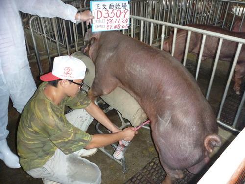 台灣種豬發展協會9907期D0350-09採精相片
