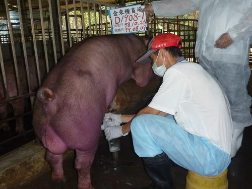 台灣種豬發展協會9907期D1908-01採精相片